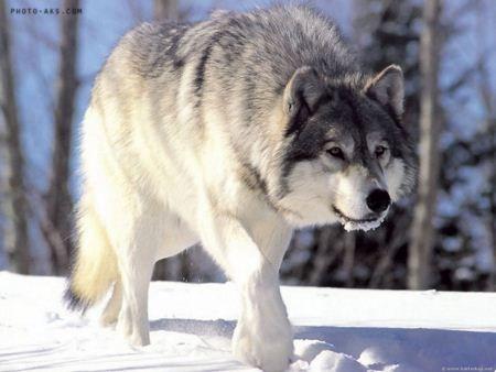 تکذیب شایعه رهاسازی گرگهای پلاک دار در طبیعت خراسان جنوبی