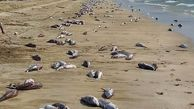 دلایل احتمالی مرگ ماهیان در سواحل جاسک