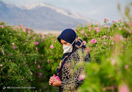 گل-گلاب (7)