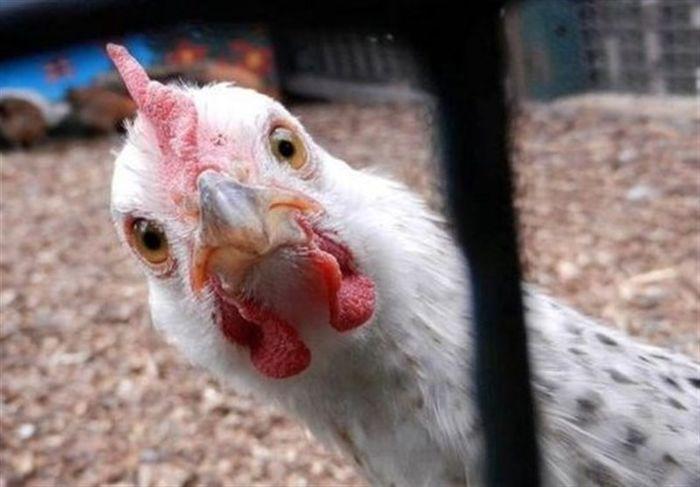 مرغ هم از سر سفره مردم پرید!