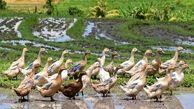 پرنده سودآوری که برنج کاران باید پرورش دهند