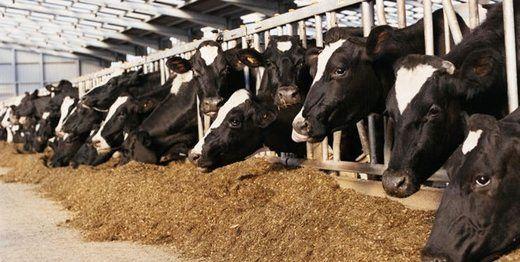 بحران کمبود گوشت در راه است؟