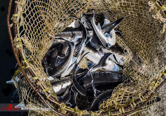 ماهی-خاویاری (8)