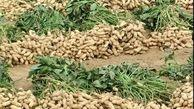 محصولی سودآور برای پرورش در مناطق کم آب