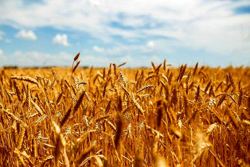 عاقبت ارزان خریدن گندم از کشاورزان