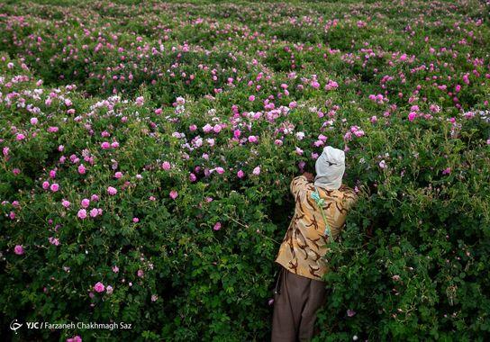 گل-گلاب (10)