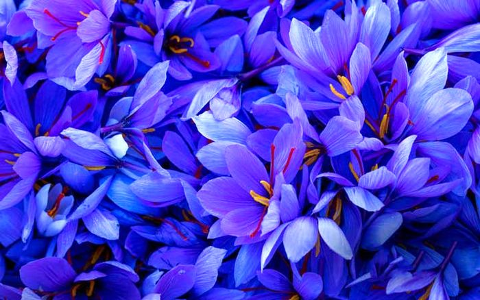 گل مشهور ایرانی در میان لاکچری ترین های جهان + قیمت