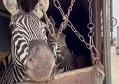 واکنش تامل برانگیز باغ وحش صفادشت به مرگ گورخر آفریقایی