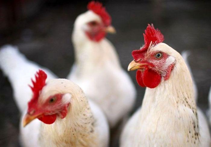 ادعای مربوط به مرغداران تکذیب شد