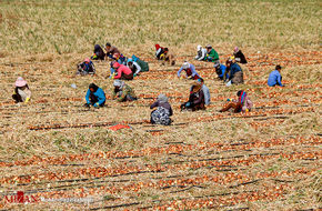 تصاویر / برداشت پیاز از مزارع جوین
