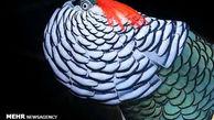 تصاویر/ گونههایی زیبا از پرندگان نر