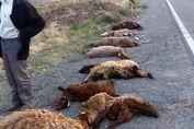 قتل عام یک گله گوسفند با تاکسی
