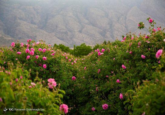 گل-گلاب (12)