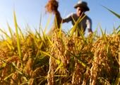 بالا رفتن نرخ ارز به سود کشاورزان پنبه کار تمام شد