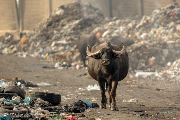 تصاویر/ پرسه حیوانات اهلی میان زبالههای بیمارستانی