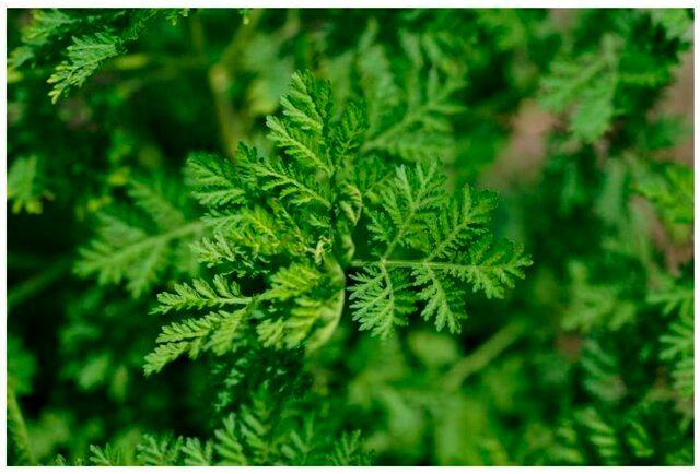 این گیاه سرطان تخمدان را درمان می کند