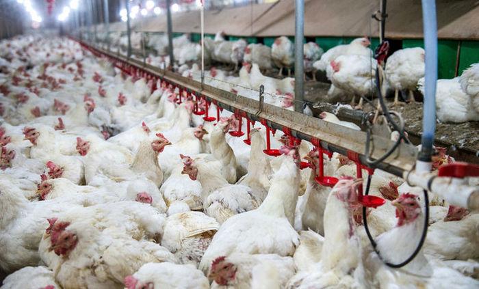 بازار مرغ در یک قدمی طوفان قیمتی